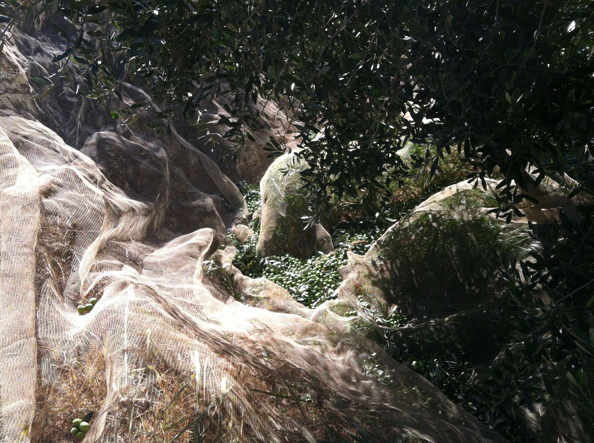 Raccolta delle olive a Tenute Librandi Pasquale